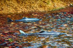 Humpback salmon (Oncorhunchus gorbusha, females) in shallow. When the salmon are running - humpback salmon (Oncorhunchus gorbusha, females) in the shallow of Stock Photography