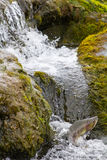 The humpback salmon rises upwards on falls Stock Images