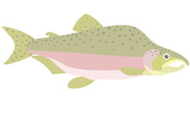 Humpback salmon. Vector illustration (EPS 10 Royalty Free Stock Images