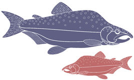 Humpback salmon. Vector illustration (EPS 10 Stock Photos