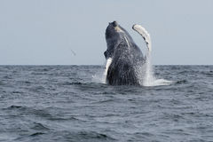 humpback skacze wieloryba Fotografia Stock