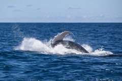 Humpback Splashing After Breach Royalty Free Stock Photos