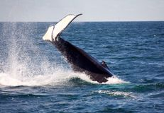 Humpback tail. Tail of a humpback whale Royalty Free Stock Image