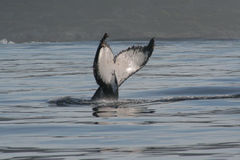 Humpback Tail. The tail fluke of a diving Humpback whale Stock Photo