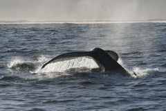 Humpback Tail 2. The tail fluke of a diving Humpback whale Royalty Free Stock Photography