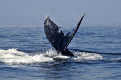 Humpback tail 2 Stock Photography