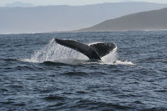 Humpback tail 4 Royalty Free Stock Image
