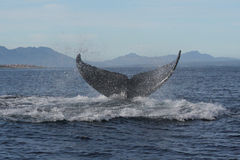 Humpback tail 6. A dripping tail of a humpback whale taken at Walker Bay, Hermanus, South Africa Stock Photos