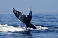 Humpback tail Stock Photography