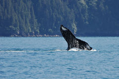 Humpback Tail Dip 4575 Royalty Free Stock Images