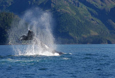 Humpback Tail Drive 4486a Stock Photography