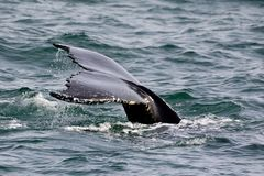 Humpback tail fin Royalty Free Stock Photography