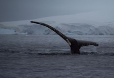 Humpback Tail with Glaciers at Dusk stock photography