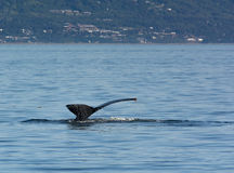 Humpback tail with Homer Alaska in background Royalty Free Stock Image