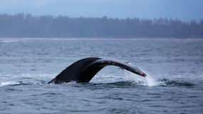 Humpback tail side view Stock Photos