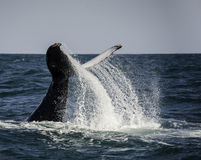 Humpback Tail Slap. Humpback whale tail slapping, Wild Coast South Africa Royalty Free Stock Photos