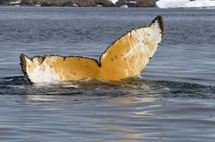 Humpback tail which dives into the waters of the Antarctic summe Stock Photo