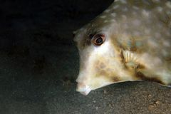 Humpback Turretfish Στοκ φωτογραφίες με δικαίωμα ελεύθερης χρήσης
