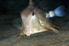 Humpback Turretfish Fotografia Stock