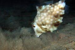Humpback Turretfish karmienie Obrazy Stock