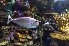 Humpback Unicornfish, Naso brachycentron ocean i denna ryba - obraz stock