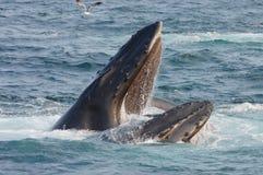 humpback usta otwarcia wieloryb obrazy royalty free