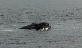 Free Humpback Wale Royalty Free Stock Images - 44023699