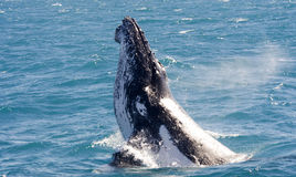 Humpback Wale at Hervey Bay. Humpback whale during an excursion on Hervey Bay in Australia.  This Humpback Whale came beautiful out the water Royalty Free Stock Images
