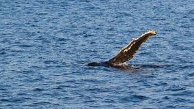 Humpback waves a pectoral Royalty Free Stock Image
