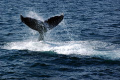Humpback Whale Stock Photos
