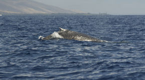 Humpback Whale. A humpback whale breaching off the coast of Maui Royalty Free Stock Image