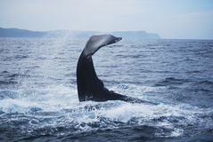 Humpback whale Stock Photography