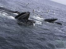 Humpback Whale. S on the Pacific Ocean Stock Image