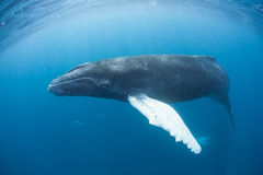 Humpback Whale 2 Stock Images