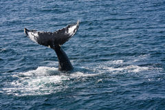 Humpback whale. (Megaptera novaeangliae) in Atlantic ocean stock photo