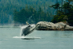 Humpback Whale. Humback Whale Breaching Through Water in Front of Rocky Shore stock images