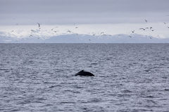 Humpback Whale Stock Images