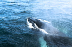 A humpback whale. 's head in the ocean Royalty Free Stock Photos