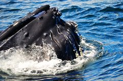 Humpback Whale. Coming to the surface stock image