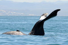 Humpback whale with 3 months calf stock photography