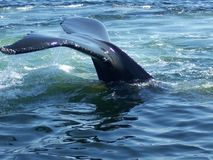 Humpback Whale. Whale watching in gloucester massachusetts Royalty Free Stock Image