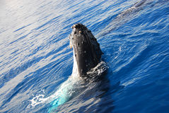 Humpback Whale. Frolicking in the waters of Hervey Bay, Australia stock image