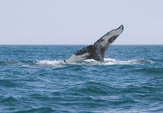 Humpback Whale Royalty Free Stock Photo