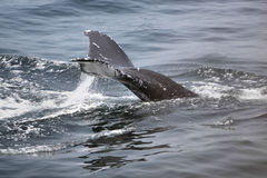 Humpback whale. Diving Stock Photos