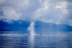 A Humpback whale in Alaska. A lone Humpback whale breaths out a vast column of water and snot through it's blowhole, creating a wonderful pattern against a Stock Photography