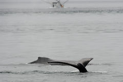 Humpback whale in Alaska Royalty Free Stock Photos