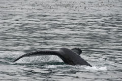 Humpback whale in Alaska. Humpback whale tail while going down in Glacier Bay Alaska stock image