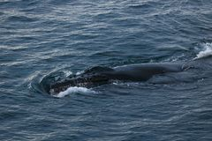 Humpback whale, Antarctic peninsula Stock Photography
