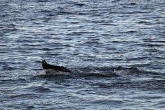 Humpback whale, Antarctic peninsula Royalty Free Stock Photography