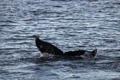 Humpback whale, Antarctic peninsula Stock Images